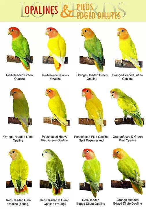 African lovebirds with name - photo#2